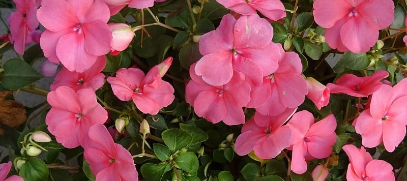 Top annuals to add to your garden - impatiens