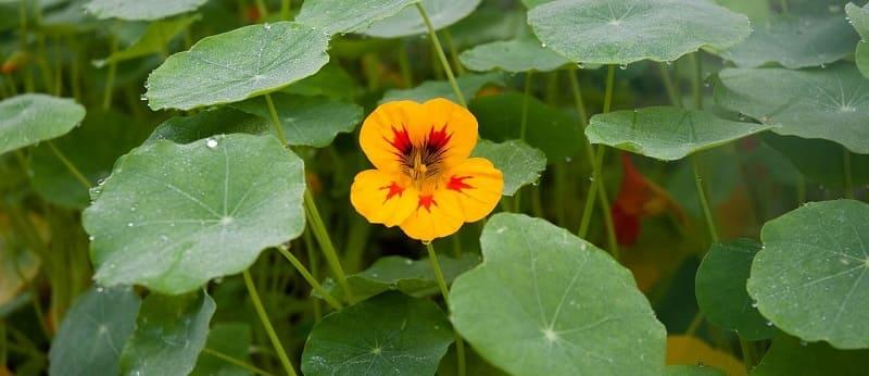 Top annuals to add to your garden - nasturtium