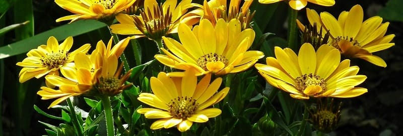 Top perennials in South Africa Gazania or African Daisy