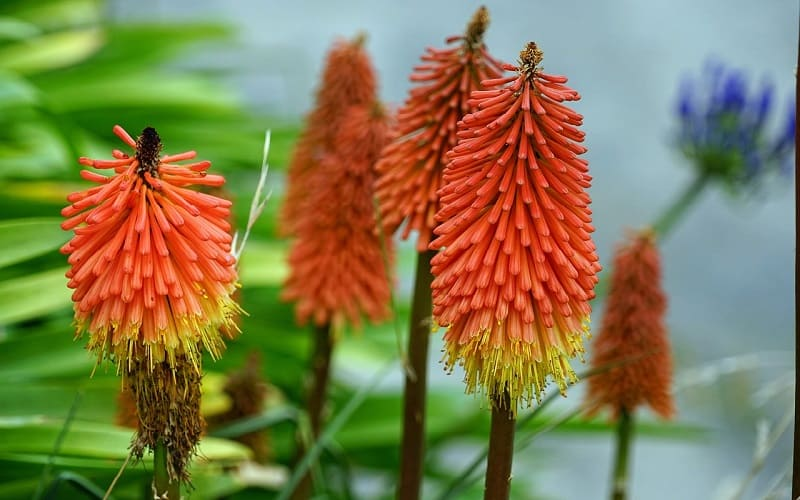 Top perennials in South Africa Red-hot Poker (Kniphofia sub-species)